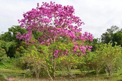 紫花风铃木种植技术方法