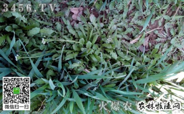 小麦冬前化学除草剂的选择