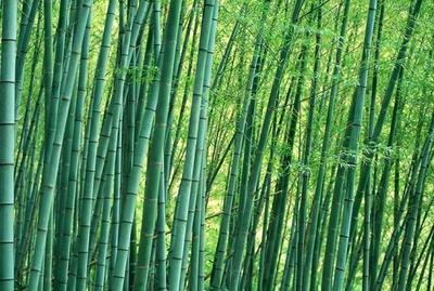 竹子的价值和用途有哪些?竹子的用途大全
