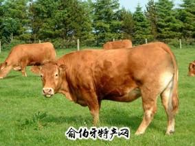 平陆山地黄牛