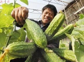 黄瓜嫁接怎样确定黑籽南瓜的播种方法?