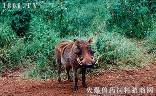 特种野猪养殖技术有哪些