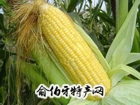 曲周甜玉米