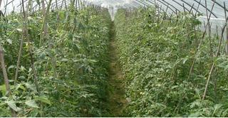 茄果类蔬菜壮苗新要点