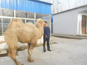 乌拉特后旗骆驼养殖走向产业化