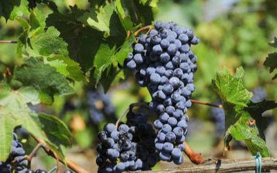 葡萄有哪些品种?常见的葡萄品种有哪些?