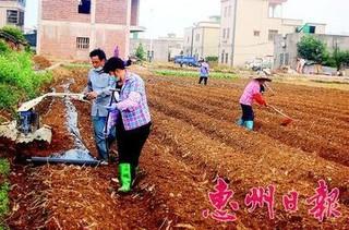 惠州惠东县冬种马铃薯预计比去年少