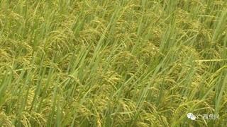 丰都县农机大户助复耕杂草地变水稻田