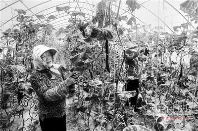甘肃会宁蔬菜产业蓬勃发展种植规模达20万亩
