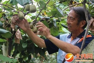 猕猴桃科学栽植促丰产
