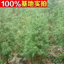 日本柳杉几年开花?日本柳杉的花期