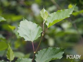 红豆杉的药用价值 利尿消肿