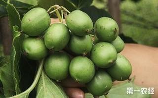 软枣猕猴桃几年结果?软枣猕猴桃品种排名