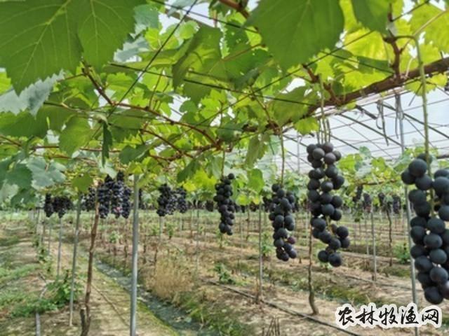 长沙:水果在树上就被采摘一空