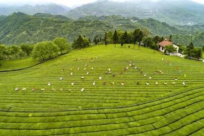 中国茶旅大会*落户宜昌五峰