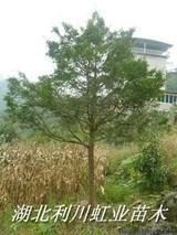 南方红豆杉的功效与作用