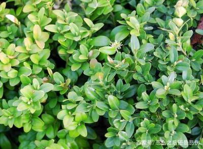黄杨小树苗怎么种植?黄杨树栽种方法