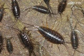 海蟑螂的功效与作用
