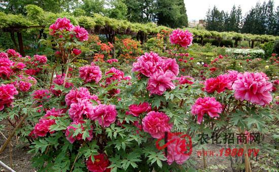 花卉植物的生长调节