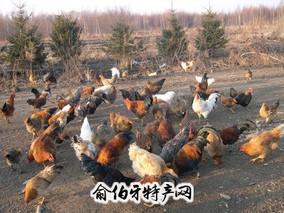 绥棱森林鸡
