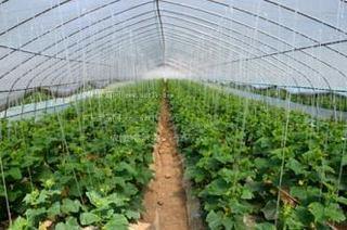 塑料大棚春黄瓜栽培技术