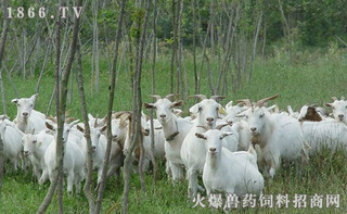 长江三角洲白山羊