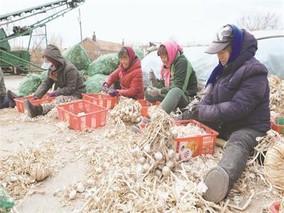 齐齐哈尔市:小甜菜带来大收益