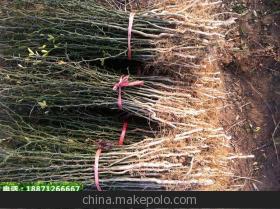 湖北黄冈:砧木嫁接 树上长茄子