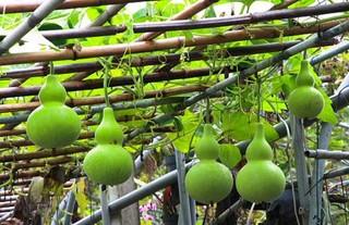 绿豆葫芦粥的功效与作用