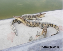 广州白云区加强鳄鱼养殖生产管理工作