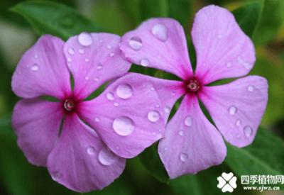 气温反常家里花卉该怎么养?