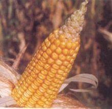 防止玉米秃尖 要抓好这五点