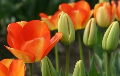 郁金香什么时候种植?郁金香的种植方法