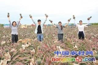 湛江徐闻菠萝:重塑产业链浴火获新生