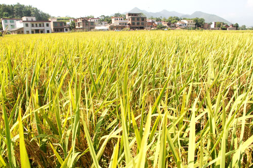 安徽再生稻示范田实现亩产吨粮