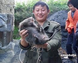 专家为南通市民捕获外来生物麝鼠支招:饲养或食用都可以