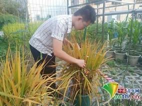 四川大二男生校园里种杂交水稻 历时5个月终变早餐