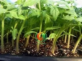 西红柿嫁接育苗技术