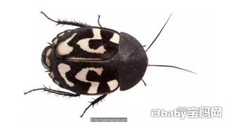 全世界有5000种蟑螂 绝大部分还能吃!