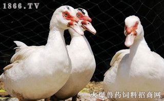 洛阳李小宏养殖鸳鸯鸭脱贫
