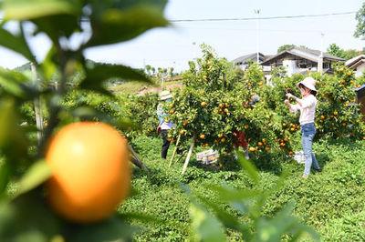 """重庆忠县,感受一只柑橘的""""逆袭"""""""