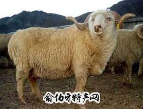 河北细毛羊