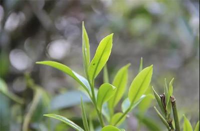 """这* """"宁红""""代表中国茶"""