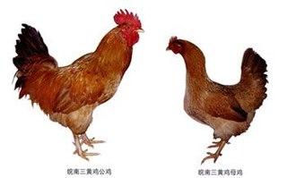 皖南三黄鸡