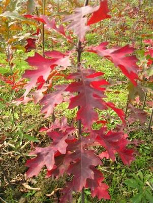 娜塔栎种子催芽方法