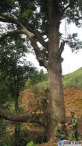 安福成功引种北美栎树