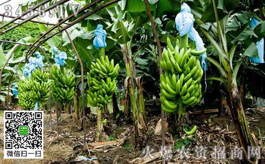 没有种子的香蕉是如何繁殖的?