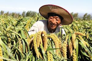 内蒙古敖汉旗90万亩谷子进入收割季