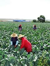 乌兰察布市冷凉蔬菜种植效益显著