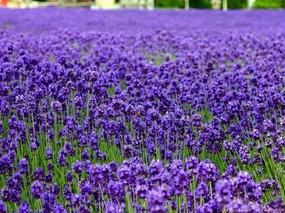 切花紫罗兰栽培种植技术